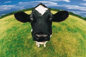 fish eye shot of cow 455010